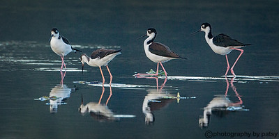STILTS and AMERICAN AVOCETS