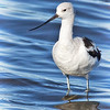 STILTS and AVOCETS