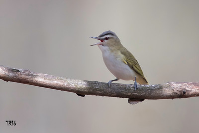 RED EYED VIREO - WOODLOCH PA.