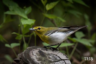 yellow throated vireo - bashakill