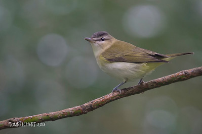 RED EYED VIREO - ALLEYPOND PARK