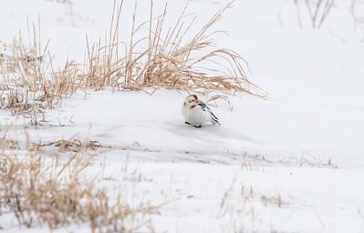 Snow Bunting Glacial Ridge National Wildlife Refuge Polk County MNSNY04644