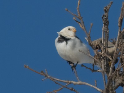 Snow Bunting in tree with blue sky near Crex Meadows WI IMG_4909
