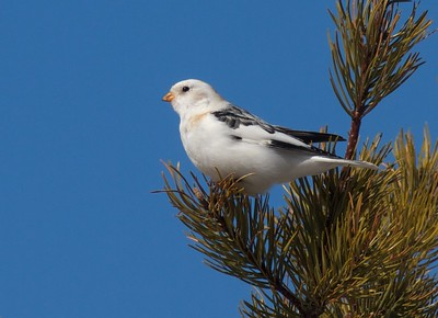 Snow Bunting in tree with blue sky near Crex Meadows WI IMG_4878