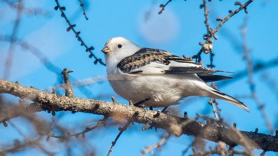 Snow Bunting Sax Road Virtually Live Birding Field Trip 2 April 21, 2020 Sax-Zim Bog MN P1044133