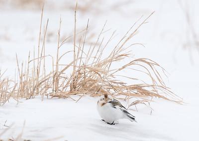 Snow Bunting Glacial Ridge National Wildlife Refuge Polk County MNSNY04660