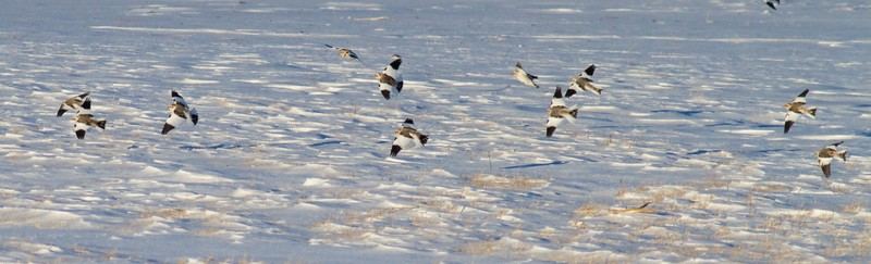 Snow Bunting flock CR27 Carlton Co MN IMG_5430