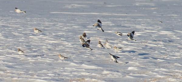 Snow Bunting flock CR27 Carlton Co MN IMG_5434
