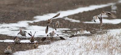 Snow Bunting flock CR7 Sax-Zim Bog MN IMG_3572