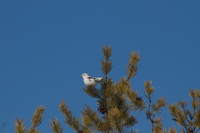 Snow Bunting in tree with blue sky near Crex Meadows WI IMG_4872