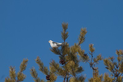 Snow Bunting in tree with blue sky near Crex Meadows WI IMG_4866