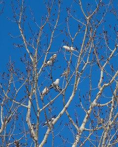 Snow Buntings in tree along CR6 Carlton Co MN IMG_7436