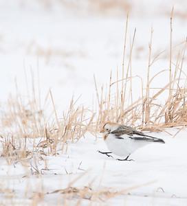 Snow Bunting Glacial Ridge National Wildlife Refuge Polk County MNSNY04664