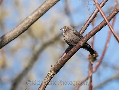 Brown Headed Cowbird (female)