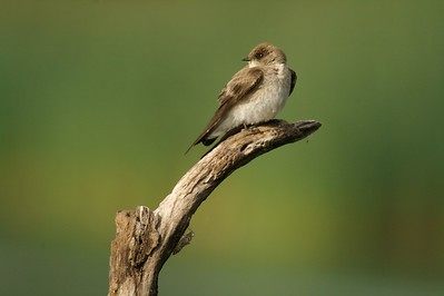 Rough-winged Swallow[April; Krenmueller Farms, Lower Rio Grande Valley, Texas]