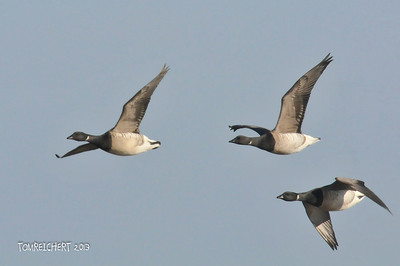 BRANT IN FLIGHT - JONES BEACH