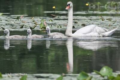 SWAN WITH CHICKS - RIVERHEAD