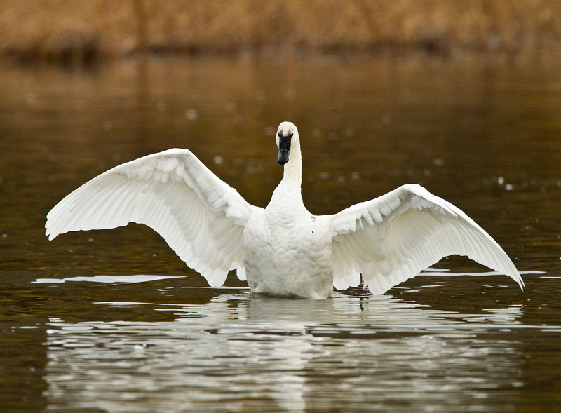 swans 201