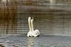 swans 251