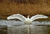 swans 247