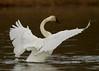 swans 214