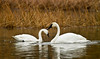swans 209