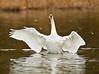 swans 204