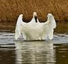 swans 249