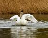 swans 250