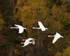 swans 253