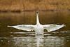 swans 205