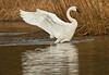 swans 221