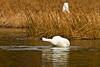 swans 222