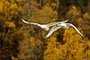 swans 243