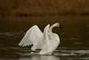 swans 213