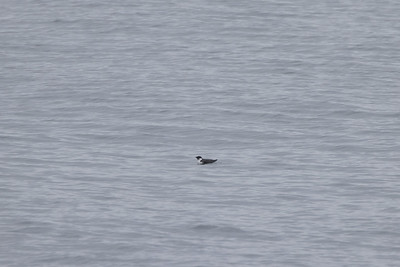 Ancient Murrelet off Stoney Point Lake Superior Lake County St  Louis County MN  IMGC7867
