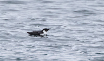 Ancient Murrelet off Stoney Point Lake Superior Lake County St  Louis County MN  IMGC7978