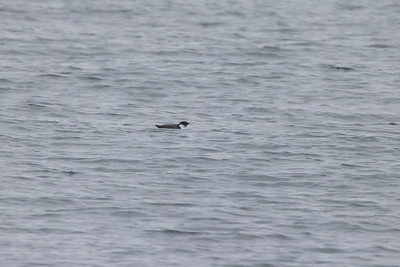 Ancient Murrelet off Stoney Point Lake Superior Lake County St  Louis County MN  IMGC7944