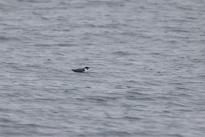 Ancient Murrelet off Stoney Point Lake Superior Lake County St  Louis County MN  IMGC7977