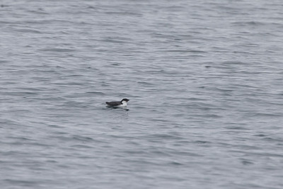 Ancient Murrelet off Stoney Point Lake Superior Lake County St  Louis County MN  IMGC7915