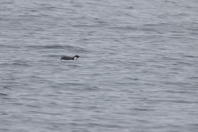 Ancient Murrelet off Stoney Point Lake Superior Lake County St  Louis County MN  IMGC7930