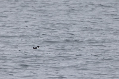 Ancient Murrelet off Stoney Point Lake Superior Lake County St  Louis County MN  IMGC7963