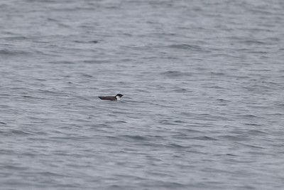 Ancient Murrelet off Stoney Point Lake Superior Lake County St  Louis County MN  IMGC7976