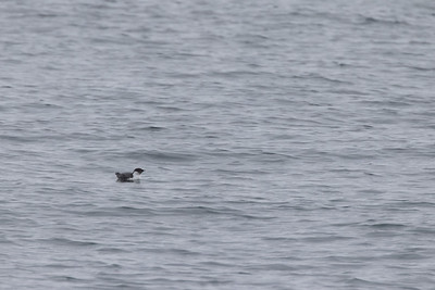 Ancient Murrelet off Stoney Point Lake Superior Lake County St  Louis County MN  IMGC7965