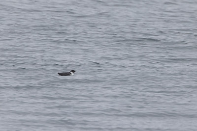 Ancient Murrelet off Stoney Point Lake Superior Lake County St  Louis County MN  IMGC7897