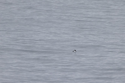 Ancient Murrelet off Stoney Point Lake Superior Lake County St  Louis County MN  IMGC7873