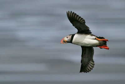 Though clown-like and awkward on land, Atlantic Puffins are great flyers and downright graceful under water [July; Ingelshofi, Iceland]