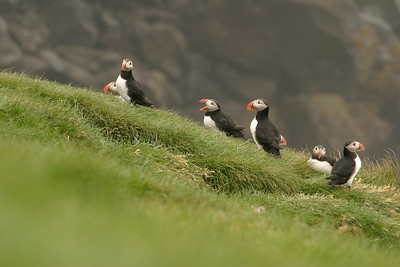 Atlantic Puffin colonies are made up of breeders and non-breeders. It may take up to seven years for a male to dig his nuptial burrow and breed! [July; Inglshofi, Iceland]