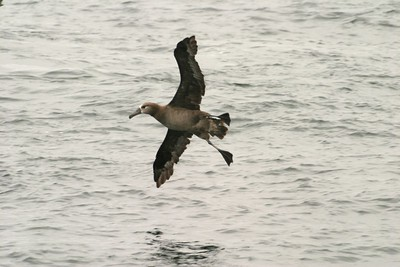 Black-footed Albatross Half Moon Bay CA 268_6887 (1) JPG