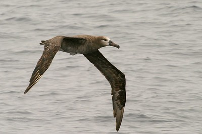 Black-footed Albatross [August; Monterey Bay, California]
